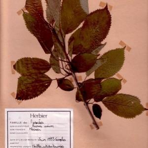 Photographie n°49429 du taxon Prunus avium (L.) L. [1755]