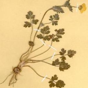 Photographie n°49432 du taxon Ranunculus bulbosus L. [1753]