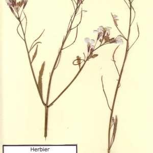 Photographie n°49441 du taxon Raphanus sativus L. [1753]