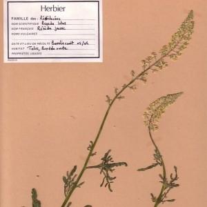 Photographie n°49442 du taxon Reseda lutea L. [1753]