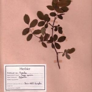 Photographie n°49449 du taxon Rosa canina L. [1753]
