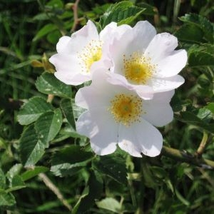 Photographie n°49450 du taxon Rosa canina L. [1753]