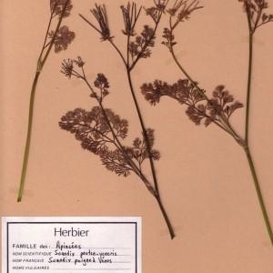 - Scandix pecten-veneris L. [1753]