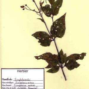 Photographie n°49469 du taxon Scrophularia nodosa L. [1753]