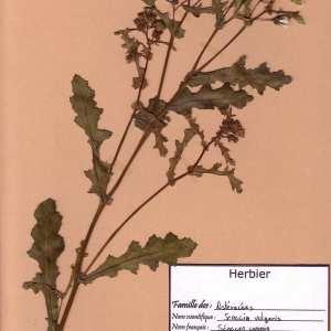 Photographie n°49473 du taxon Senecio vulgaris L.