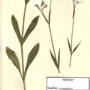 Photographie n°49479 du taxon Lychnis flos-cuculi L. [1753]
