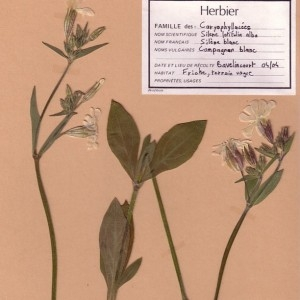 Photographie n°49481 du taxon Silene latifolia subsp. alba (Mill.) Greuter & Burdet [1982]