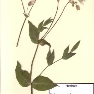 Photographie n°49482 du taxon Silene vulgaris (Moench) Garcke [1869]