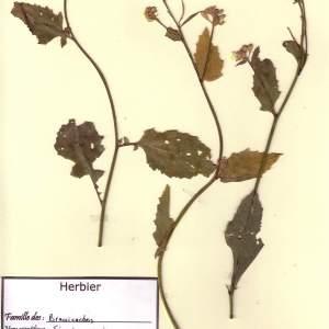 Photographie n°49483 du taxon Sinapistrum arvense (L.) Spach