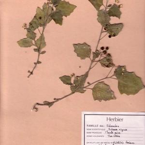 Photographie n°49486 du taxon Solanum nigrum L.