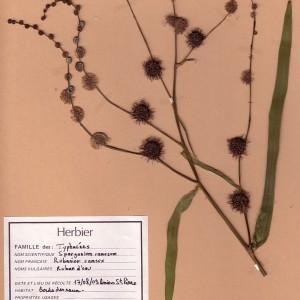 Photographie n°49489 du taxon Sparganium erectum L. [1753]