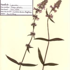Photographie n°49490 du taxon Stachys palustris L.