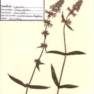 Photographie n°49490 du taxon Stachys palustris L. [1753]