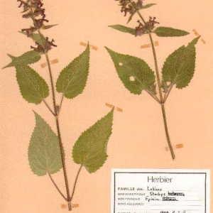 Photographie n°49492 du taxon Stachys sylvatica L. [1753]