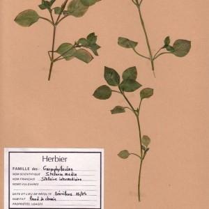 Photographie n°49497 du taxon Stellaria media (L.) Vill. [1789]
