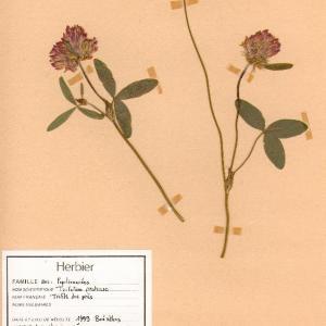 Photographie n°49511 du taxon Trifolium pratense L. [1753]