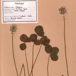 Photographie n°49512 du taxon Trifolium repens L. [1753]