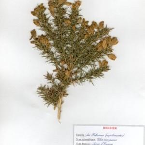 Photographie n°49514 du taxon Ulex europaeus L. [1753]