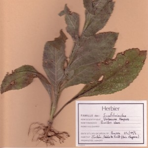 Photographie n°49522 du taxon Verbascum thapsus L. [1753]