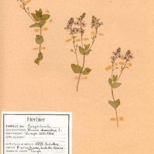 Photographie n°49524 du taxon Veronica chamaedrys L.