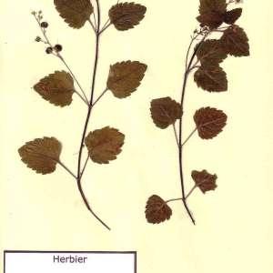 Photographie n°49527 du taxon Veronica montana L. [1755]