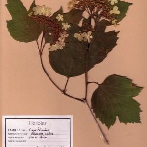 Photographie n°49532 du taxon Viburnum opulus L. [1753]