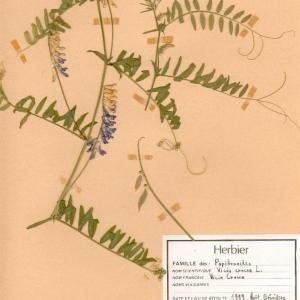 Photographie n°49533 du taxon Vicia cracca L. [1753]