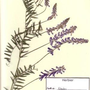 Photographie n°49539 du taxon Vicia tenuifolia Roth