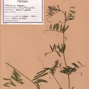 Photographie n°49540 du taxon Vicia tetrasperma (L.) Schreb. [1771]