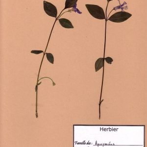 Photographie n°49543 du taxon Vinca minor L. [1753]