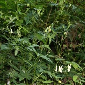 Aconitum lycoctonum subsp. vulparia (Rchb.) Nyman (Aconit tue-loup)