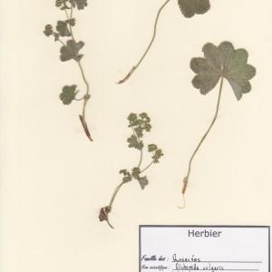 Photographie n°49553 du taxon Alchemilla acutiloba Opiz
