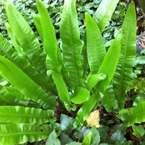 Photographie n°49557 du taxon Asplenium scolopendrium L.