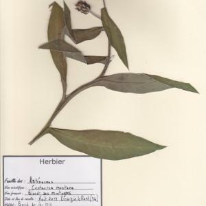 Photographie n°49560 du taxon Cyanus montanus (L.) Hill [1768]