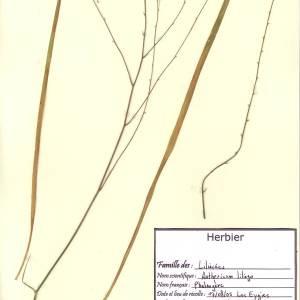 Photographie n°49574 du taxon Anthericum ramosum L.