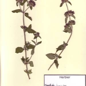Photographie n°49585 du taxon Clinopodium vulgare L. [1753]