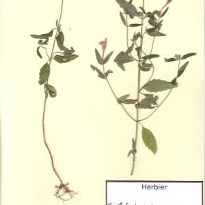 Photographie n°49593 du taxon Galeopsis ladanum L. [1753]
