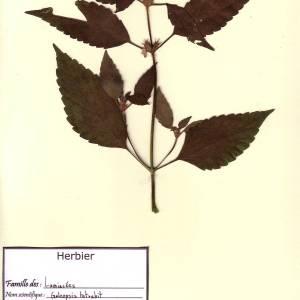 Photographie n°49594 du taxon Galeopsis tetrahit L.