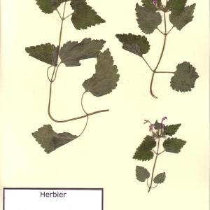 Photographie n°49595 du taxon Lamium maculatum (L.) L. [1763]