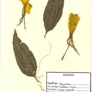 Photographie n°49604 du taxon Oenothera biennis L. [1753]
