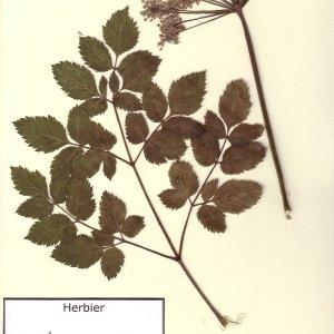 Photographie n°49621 du taxon Angelica sylvestris L.