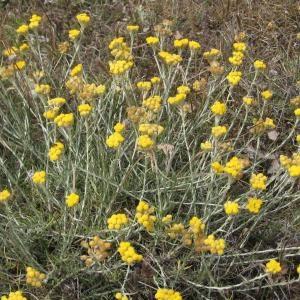 - Helichrysum stoechas (L.) Moench [1794]