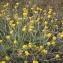 Laurent Petit - Helichrysum stoechas (L.) Moench [1794]
