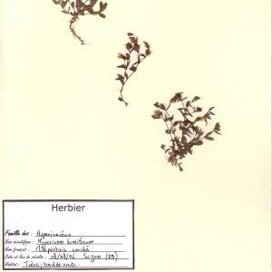 Photographie n°49666 du taxon Hypericum humifusum L. [1753]