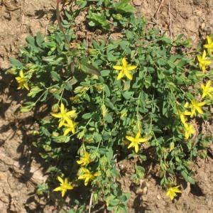 Photographie n°49668 du taxon Hypericum humifusum L. [1753]