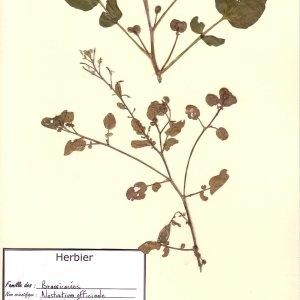 Photographie n°49691 du taxon Nasturtium officinale R.Br. [1812]