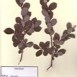 Photographie n°49706 du taxon Salix cinerea L. [1753]