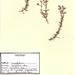 Photographie n°49716 du taxon Spergula rubra (L.) D.Dietr. [1840]