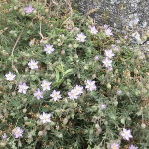 Photographie n°49718 du taxon Spergula rubra (L.) D.Dietr.