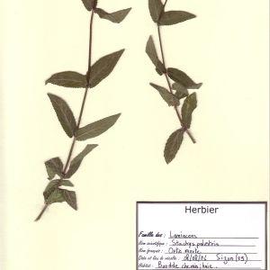 Photographie n°49719 du taxon Stachys palustris L. [1753]